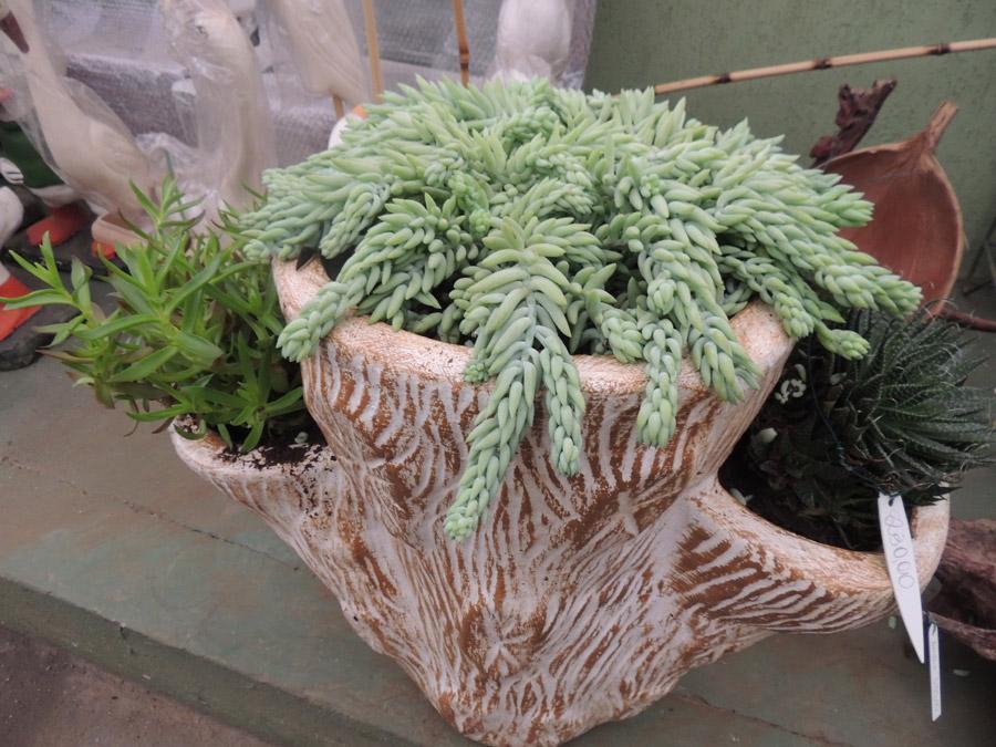 Cactus e leguminosas